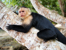 Capucin sull'albero di noce di cocco Fotografia Stock