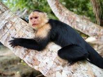 Capucin sur l'arbre de noix de coco Photo stock