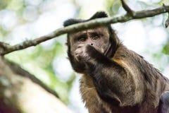 Capuciner-Affe sitzt auf einem Baum im Dschungel Stockbild