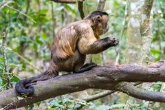 Capuciner-Affe sitzt auf einem Baum im Dschungel Stockfoto