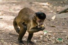 Capuciner-Affe sitzt auf einem Baum im Dschungel Lizenzfreies Stockbild