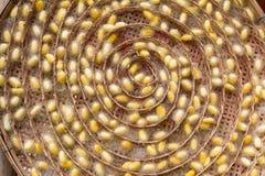 Capullo amarillo del gusano de seda en jerarquía en cesta de trilla Imagen de archivo