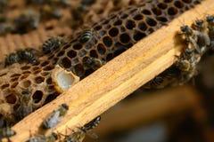 Capullo con la jalea real y las abejas de la abeja Fotografía de archivo