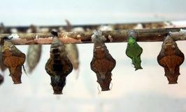 Capullo de diversas mariposas en una rama Imagen de archivo