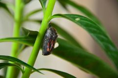 Capullo de la crisálida de la mariposa de monarca Foto de archivo