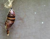Capullo de la polilla gitana Imagen de archivo