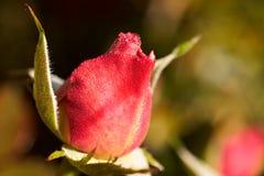 Capullo de rosa Foto de archivo libre de regalías