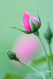 Capullo de rosa Imagenes de archivo
