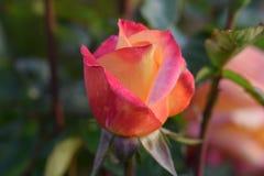 Capullo de rosa 03 del amor y de la paz fotografía de archivo libre de regalías