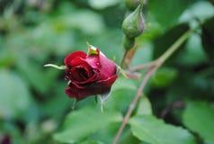 Capullo de rosa muy hermoso Foto de archivo libre de regalías