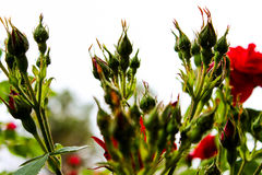 Capullos de rosa, muchos brotes, brotes color de rosa en el fondo blanco, flores no florecidas, flores frescas Foto de archivo libre de regalías