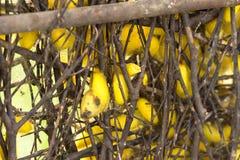Capullos del gusano de seda en jerarquías Fotografía de archivo libre de regalías