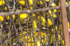 Capullos del gusano de seda en jerarquías Fotos de archivo