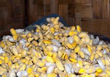 Capullos del gusano de seda en la fábrica de seda de la producción Foto de archivo