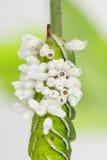 Capullos emergidos de la avispa en larva del tabaco Foto de archivo libre de regalías