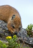 Capy Hyrax or Dassie Stock Images