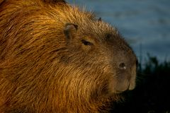 Capybara που κολυμπά στο νερό στοκ εικόνες