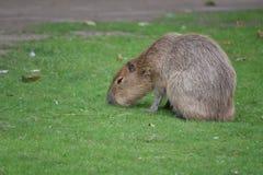 Capybara που περπατά στο χορτοτάπητα στοκ εικόνα