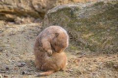 Capybara στο ζωολογικό κήπο Άμστερνταμ Artis οι Κάτω Χώρες Στοκ φωτογραφίες με δικαίωμα ελεύθερης χρήσης