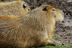 Capybara 01 Stock Photo