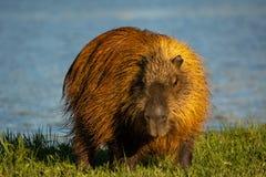 Capybara στοκ φωτογραφία με δικαίωμα ελεύθερης χρήσης