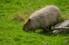 Capybara στοκ φωτογραφία