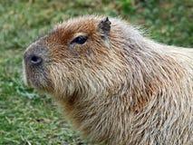 Capybara. Close Up Side View Of Capybara Stock Photos