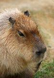 Capybara royalty-vrije stock foto