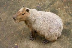 Capybara Royalty Free Stock Photo