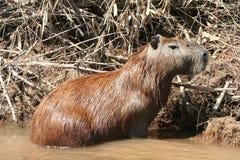 Capybara Images stock
