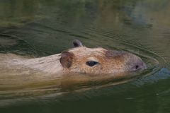 Capybara. The largest living rodent, swimming in a lake Royalty Free Stock Image