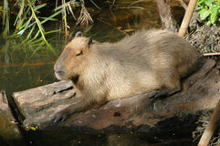 Capybara. A reclining sunning capybara the largest rodent on earth. A mammal of central and south America. Also called a water hog and carpincho royalty free stock photos