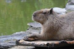 Capybara Lizenzfreie Stockfotos