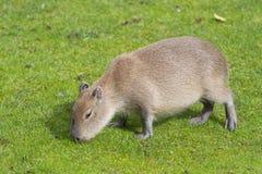 capybara Στοκ Εικόνες