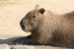 Capybara Photos libres de droits