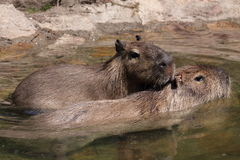 Capybara Royalty Free Stock Images