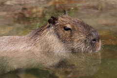Capybara Foto de Stock Royalty Free