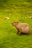 Capybara. The capybara (Hydrochoerus hydrochaeris ), the largest living rodent in the world Royalty Free Stock Photography