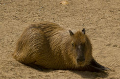 Capybara. Resting in a zoo Stock Photography