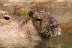 Capybara Lizenzfreie Stockfotografie