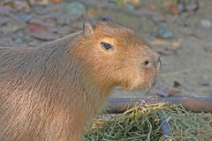 Capybara. The capybara eating grass in zoo Stock Photo