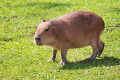 Capybara Photographie stock