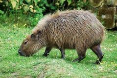 capybara Стоковое Изображение