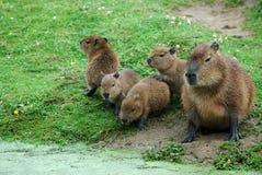 Capybara Stockfoto
