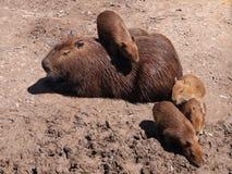 capybara Стоковые Фотографии RF