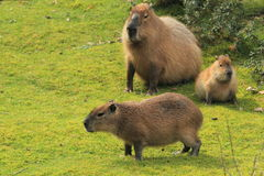 Capybara Royalty Free Stock Photos