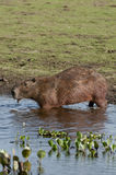 Capybara Стоковые Фото