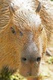 Capybara royalty free stock photography