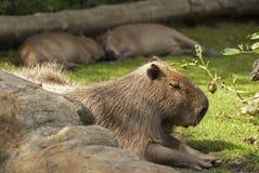 Capybara Stock Photos