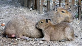Capybara 3 Royalty Free Stock Photos